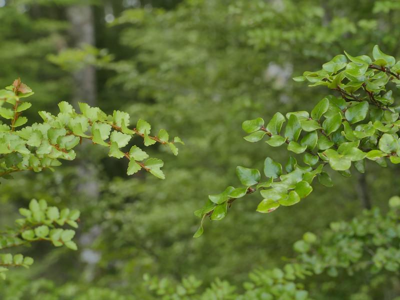Silver & Black Beech leaves