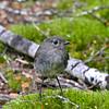 Soth Island robin