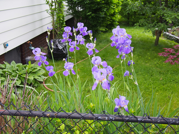 Irises - 2
