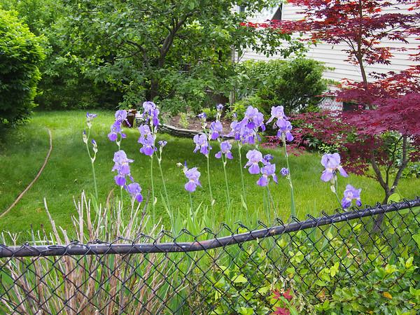 Irises - 1