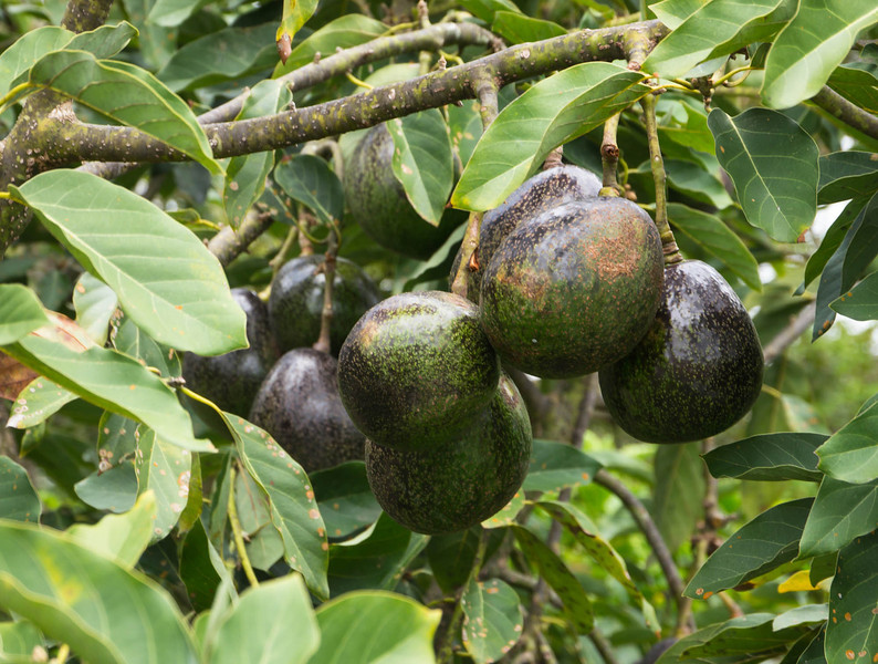 A tree full of avocados.