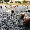 Non-stop acorns in Albany NY