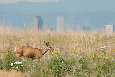 Mule Deer, Rocky Mountain Arsenal NWR.