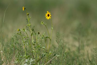 Wildflower, Rocky Mountain Arsenal, NWR.