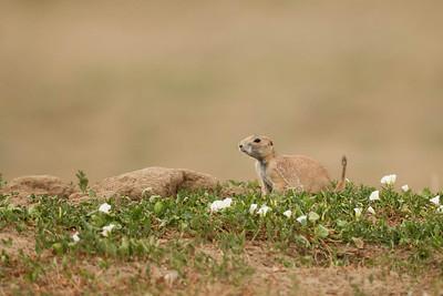 Prairie Dogs at Rocky Mountain Arsenal NWR.