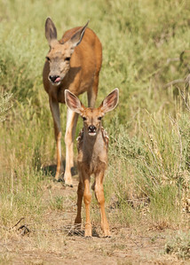 Mule Deer with Fawn, Rocky Mountain Arsenal NWR.
