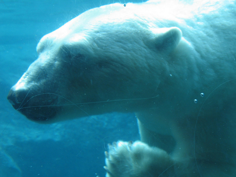 Polar bear in the agua.