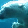 Polar bear in the agua.