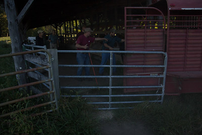 loading cows