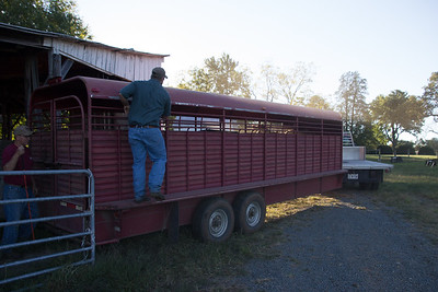 hauling away the cows to market (for your next Big Mac)