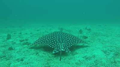 03 Eagle Ray from Behind and Pencil Fish