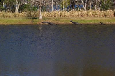 Alligators at the Scottish Highland's Festival Orlando, FL