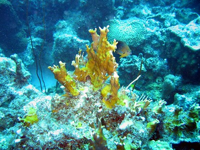 Firey coral