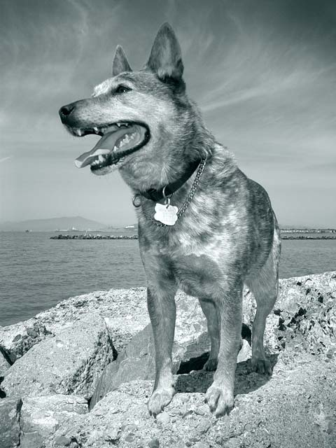 Cutter at Pt. Isabel<br /> Australian Catttle Dog