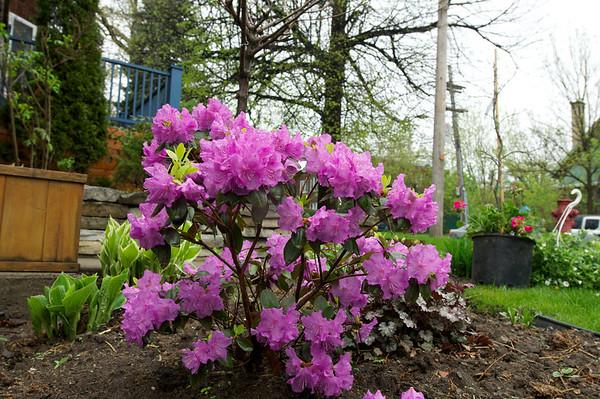 Rockin rhododendron