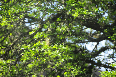 Bushtit nest in my yard 2014