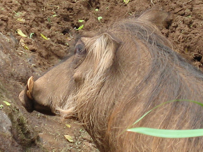 Wow Warthogs are really ugly