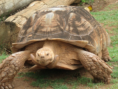 A spur thighed tortoise.