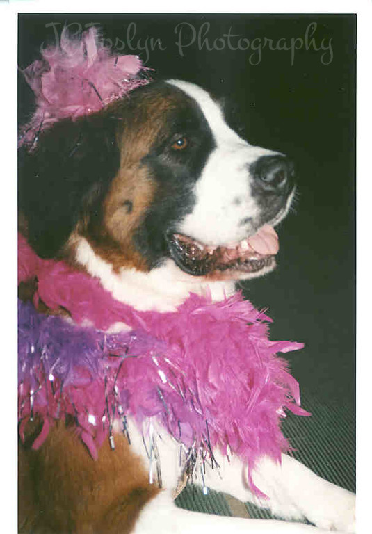 Bailey CGC CD TDIA. Bailey is an active Therapy Dog, doing visiting therapy at rest homes via the Therapy Dogs International chapter, Pals on Paws, Anoka, Minnesota area.  This is her 'Governor Jessie Ventura' look alike outfit.  8 years old in May, 2005.