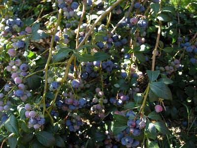 The boys were able to see the bigger berries near to the ground