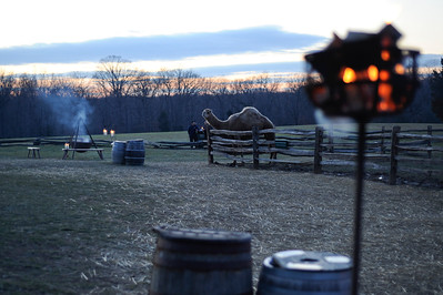Aladdin the Camel at Mount Vernon's Christmas