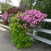 Bryson City flowers 01