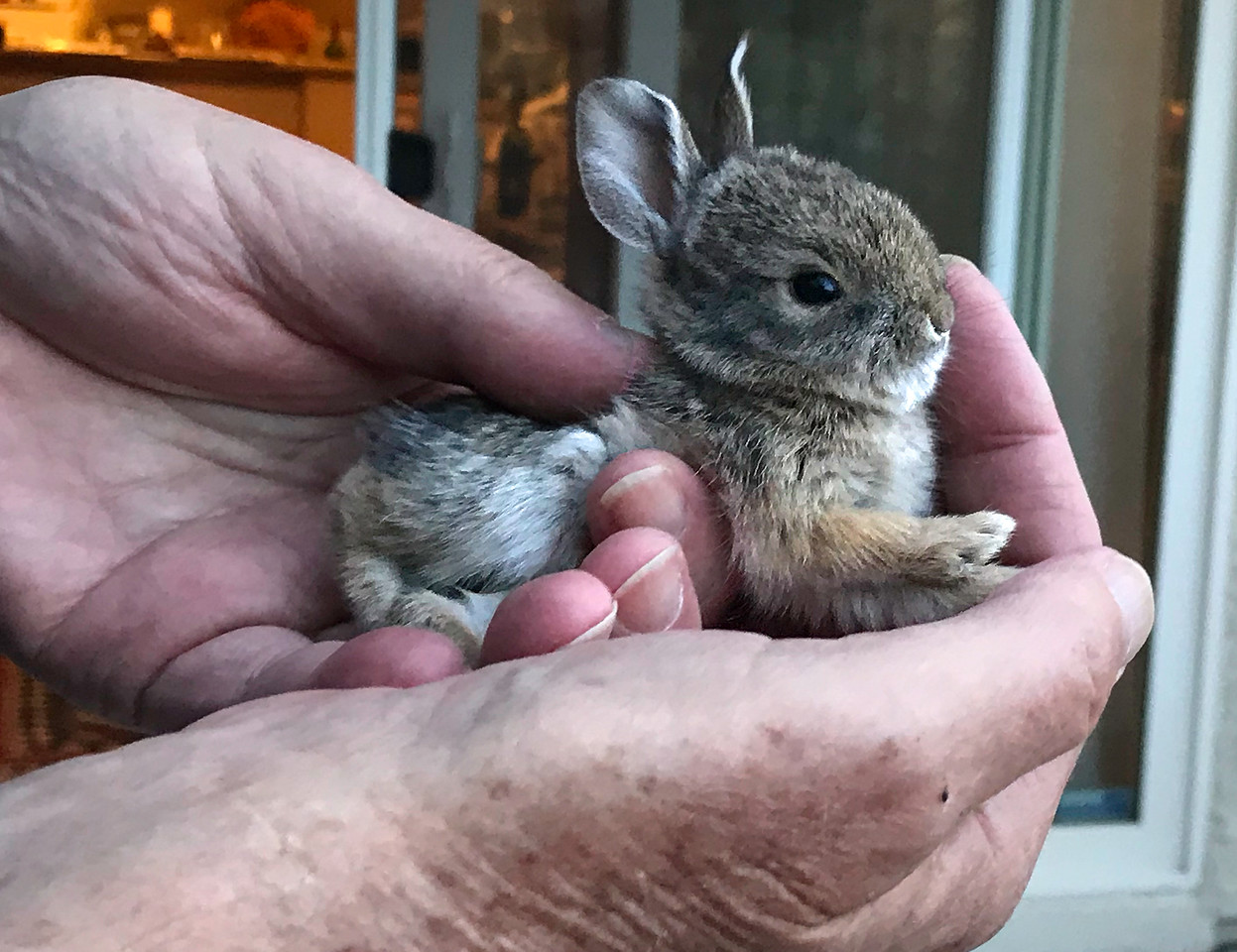 Baby Bunny in our back yard