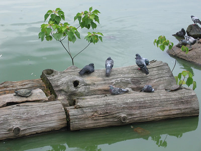 Pigeons and Turtle on Logs - digital photo (Canon S500) - Summer 2006