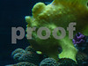 """this is really a """"frogfish""""  :)"""
