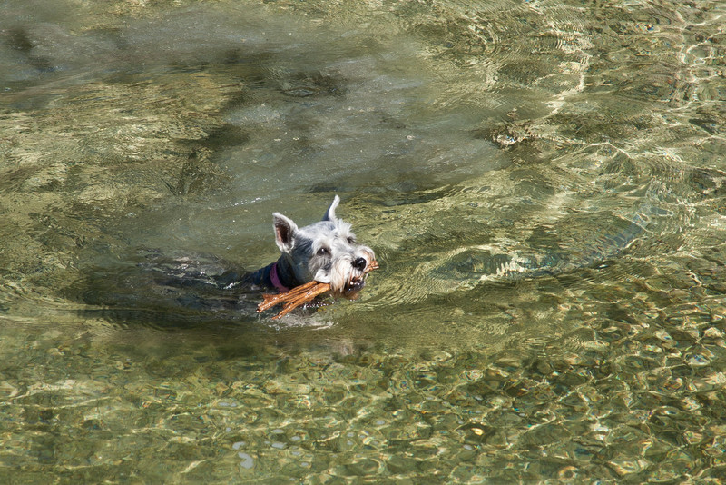 Doggies Swimming