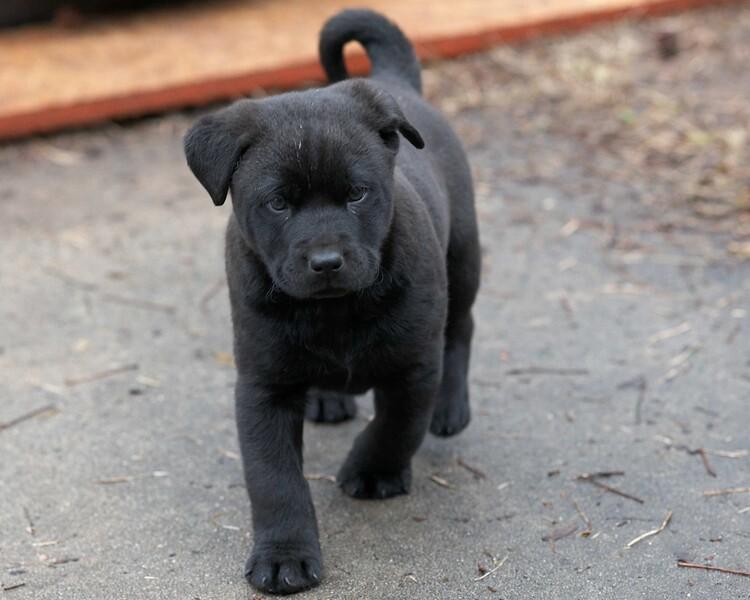 new Labrador puppy