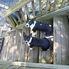 May 2011 - Scout and Rommel standing guard on the back steps.