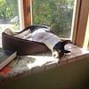 December 2011 - Scout napping in the bay window.