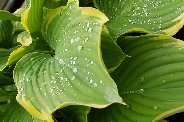 My hostas are loving the rain.  A little test to see how sharp this lens is - it passed beautifully.