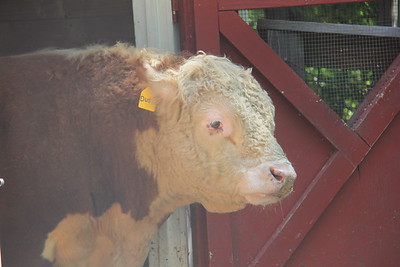 Dusty the Cow