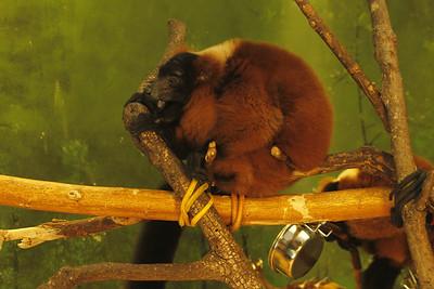 sleepy red-ruffed lemur