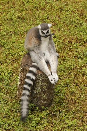 ring-tailed lemur (with monitoring collar) - love how he holds his feet