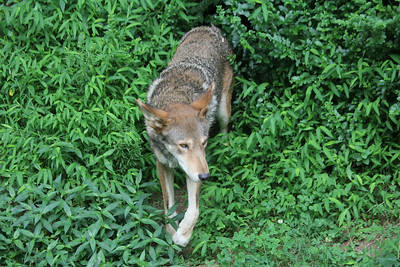 best photos I have ever shot of one of the red wolves at the museum - it just shot unexpectedly out of it's den right in front of us