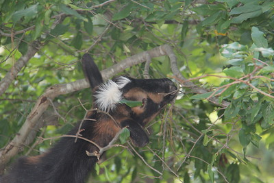 pygme goat eating leaves out of tree