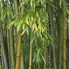Bamboo at Alloue