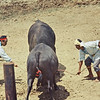 Bull Fight - Two bulls with handlers