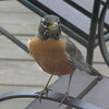 2005-04-10 - Inquisitive Robin