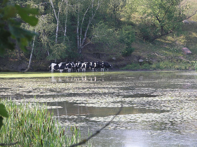 Cows cooling their hoofs