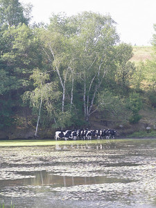 Cows cooling their hoofs along the trail