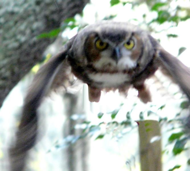great horned owl in flight (89462547)