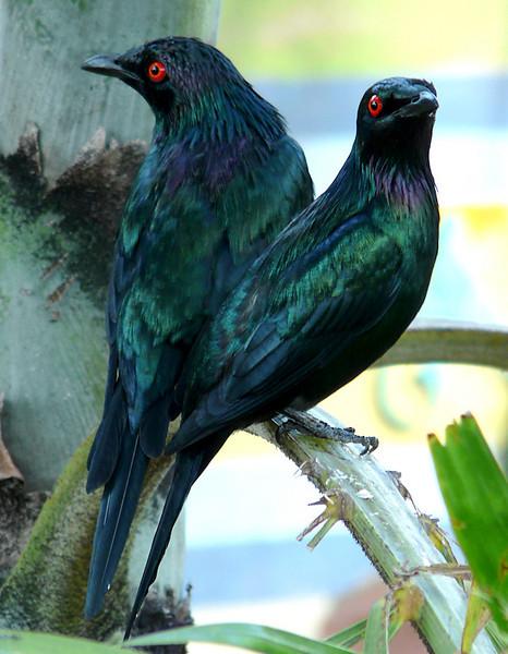 fairy-bluebirds (89462539)_tn