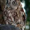 screech owl (89462545)