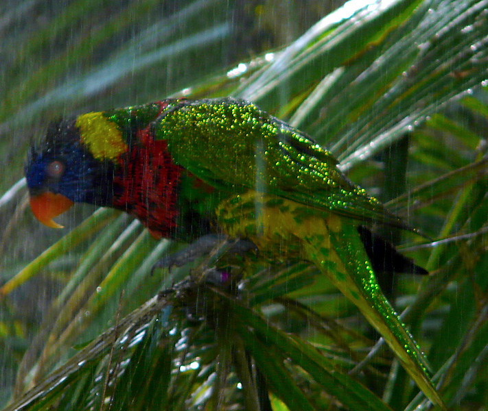 lorakeet in the rain