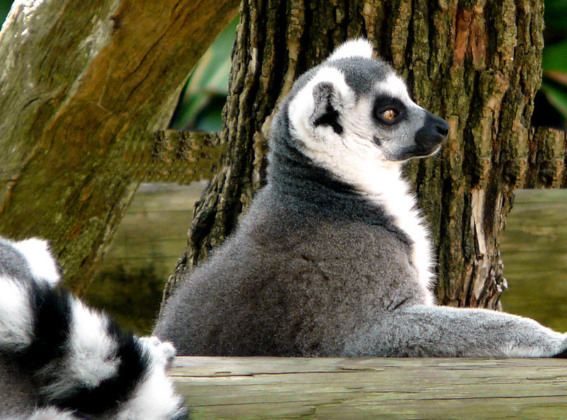 ring tailed lemur (89462550)