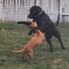 Ginger and Lacie had fun playing with each other.
